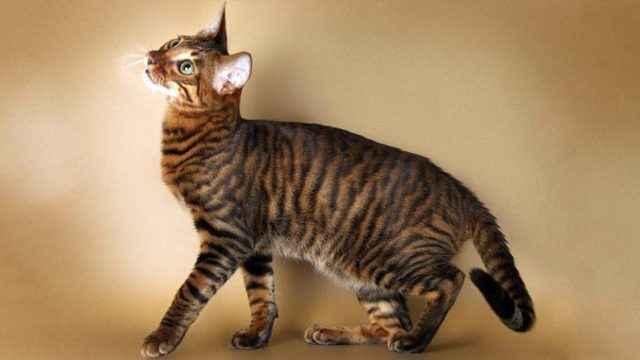 Что собой представляет порода кошек Тойгер: описание внешнего вида и характера