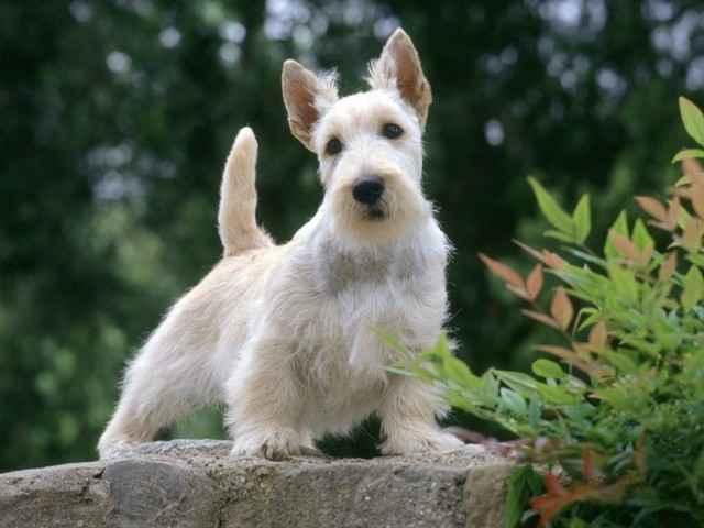 Обзор красивых пород собак с коротенькими лапками и огромными ушами