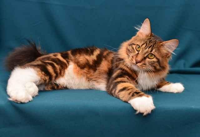 Курильские бобтейлы: описание породы кошек, характер, особенности ухода, история