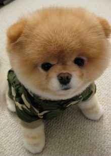 Перечень и описание внешности маленьких собак похожих на медведей
