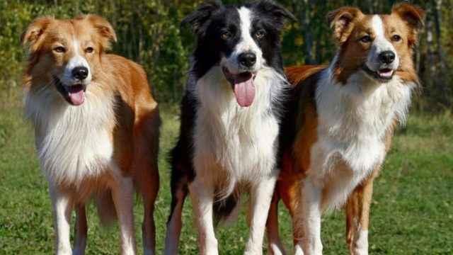 Обзор пастушьих пород собак, которые пасут овец: список и описание