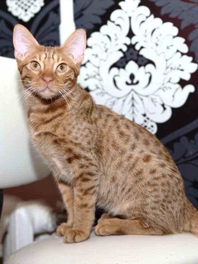 Кошки оцикет: характер и повадки, особенности ухода, история выведения,