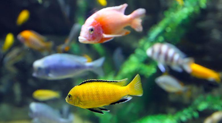 Цихлида - рыба аквариумная: фото