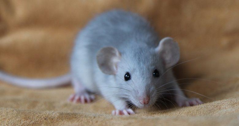 Чем можно кормить крысу Дамбо
