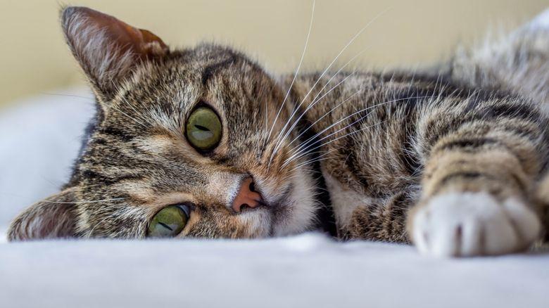 Как ведут себя коты перед смертью дома
