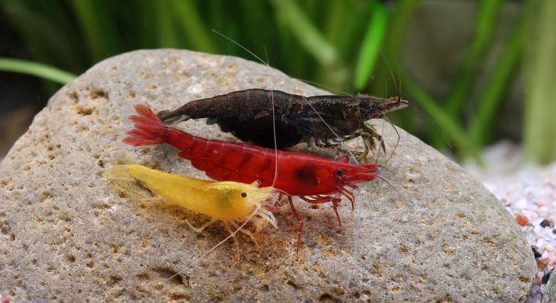 С кем уживаются креветки в аквариуме