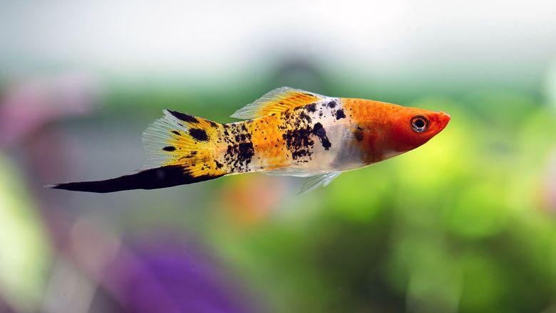 Меченосец - аквариумная рыбка: размножение
