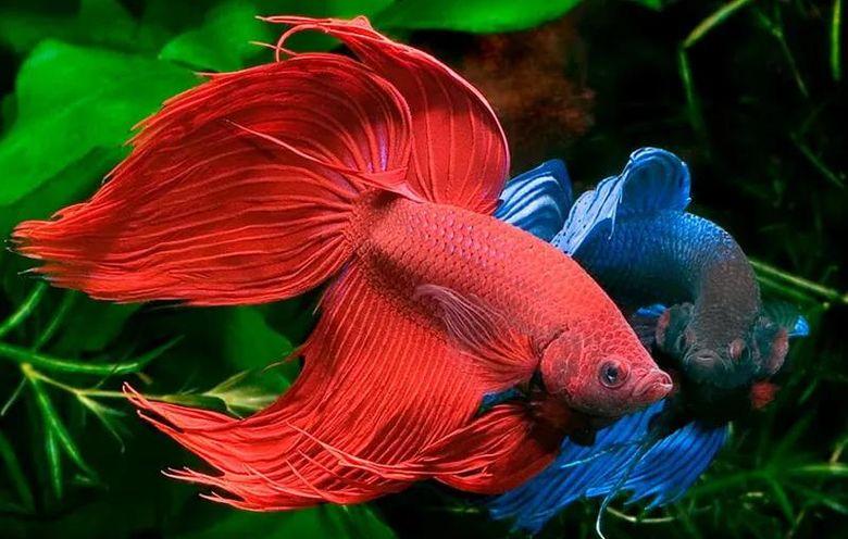 Петушок - аквариумная рыбка: содержание