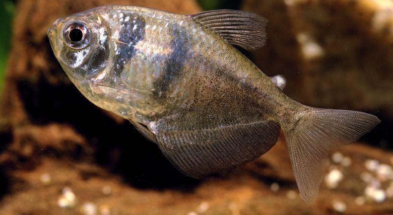 Сколько живут тернеции в аквариуме