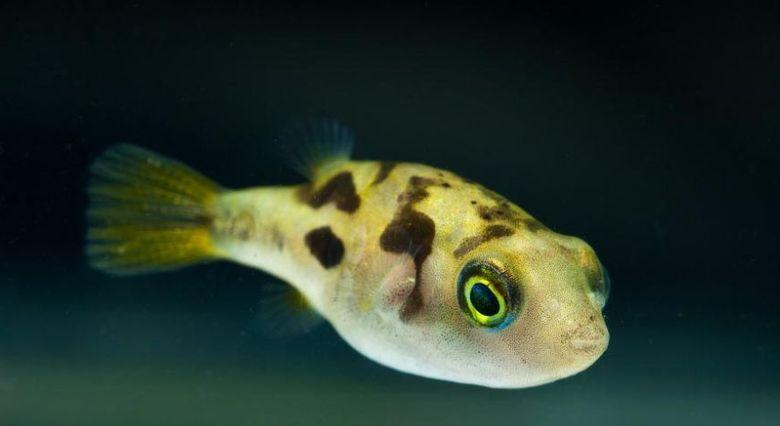 Тетрадон карликовый: содержание в аквариуме